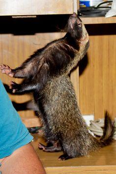 badger?