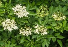 Schwarzer Holunder Healing Herbs, Medicinal Herbs, Edible Wild Plants, Mystique, Shrubs, Samba, Roots, Garden Design, Flora