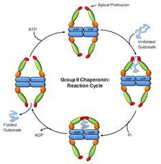Group II Chaperonin: Reaction cycle