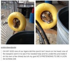 DOHHHHMYGOODNESS!!!!! This is why tigers are my favorite! So fucking adorable! omg <3 <3 <3 <3