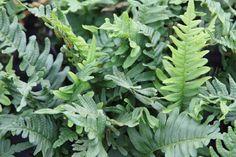 Polypodium vulgare / eikvaren. Wintergroene varen voor schaduw of halfschaduw voorkeur voor droge plaatsen. Hoogte ca. 30 cm.