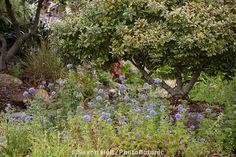 Evergreen native shrub, Coffeeberry Frangula californica (Rhamnus c.)