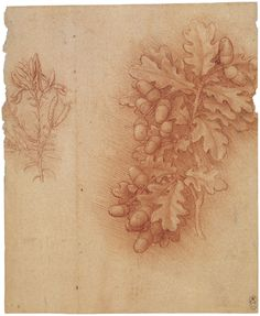 A study of a spray of oak-leaves with a cluster of acorns. To the left is a drawing of a spray of Dyers greenweed showing a flower and pods.A number of Leonardo's botanical drawings are executed in an unusual technique of red chalk on paper with an orange-red coating. In this remarkably bold study of a sprig of oak, the dense shading gives the drawing a great sense of solidity and life.