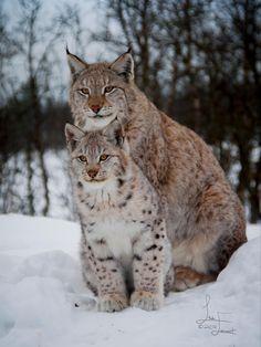 Lynx siblings by Linda Evenset on 500px