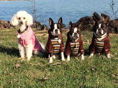Team shot Boston Terriers, Dogs, Animals, Animales, Animaux, Boston Terrier, Pet Dogs, Doggies, Animal