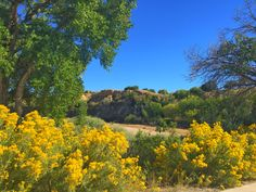 Fall colors of Desert Sage in bloom along the Colorado River