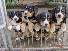 ENTLEBUCHE CATTLE DOG/ENTLEBUCHER SENNENHUND