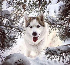 Siberian Husky #siberianhusky