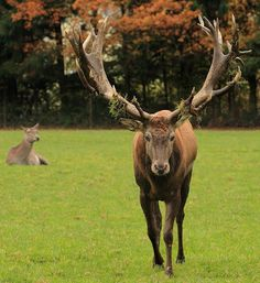 800px-red_deer_poing