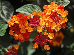 It's summer and many people are looking for drought-tolerant, low-maintenance plants that are colorful and versatile. The lantana plant might just the thing. The lantana is a heat-loving, dr… Beautiful Flowers Pictures, Flower Pictures, Exotic Flowers, Pretty Flowers, Prettiest Flowers, Colorful Flowers, Lantana Plant, Low Maintenance Plants, Tropical Colors