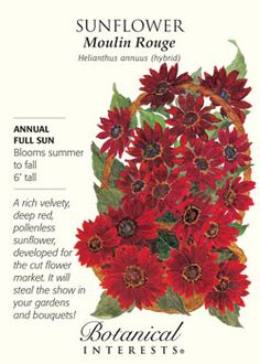 $2.99 A rich, velvety, deep red, pollenless sunflower developed for the cut flower market.