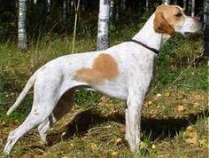 english pointer dog photo | English Pointers - Dogs - Remu