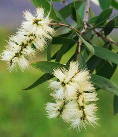 """Uleiul de arbore de ceai (Melaleuca alternifolia) este adesea numit """"o farmacie întreagă într-o sticluță"""", datorită proprietăților terapeutice puternice: antibacteriene, antiseptice, antivirale, antibiotice și dezinfectante. Are o eficiență excepțională în infecții, bacterii, ciuperci și virusurile …"""