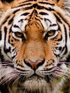 Amur Tiger the bitter*girls