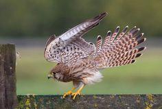vogeldagboek jonge sperwer - Google zoeken