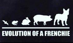 Evolution of the French Bulldog ❤️