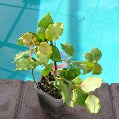 Hoya endauensis Cutting SRQ 3230 [3230x] - $26.00 : Buy Hoya Plants Online in Many Species from SRQ Hoyas Today!
