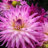 Dahlia 'Ace Summer Emotions', 'Ace Summer Emotions' Dahlia, Semi Cactus Dahlias, Dinner Plate Dahlias, Pink Dahlia flowers , Purple dahlia flowers, dahlia tubers, summer bulbs,