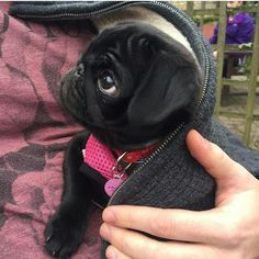 Exceptional funny pugs info is offered on our internet site. Read more and you w. - Exceptional funny pugs info is offered on our internet site. Read more and you w… – - Cute Pug Puppies, Black Pug Puppies, Terrier Puppies, Bulldog Puppies, Boston Terrier, Cute Baby Animals, Funny Animals, Shih Tzu Hund, Baby Pugs
