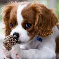 Cavalier King Charles Spaniel! I will have one one day!