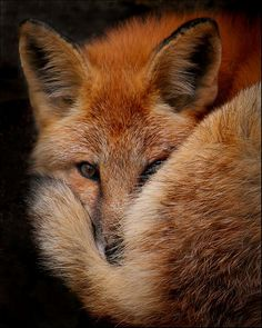 I love foxes, I've only seen them in the wild twice and their tails are beautiful.