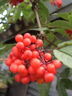 Rowan berries by Kaia Huus - Photo 44440912 - Rowan, Berries, Fruit, The Fruit, Berry