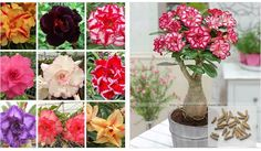 100%真砂漠ローズ種子観賞植物バルコニー盆栽鉢植え花の種アデニウムobesum種子-5粒子/ロット