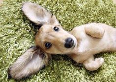 Adorable #doxie