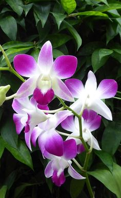 The Cooktown Orchid Description This beautiful orchid is closely related…
