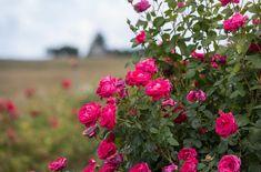 Easy Elegance 'My Girl' shrub Rose