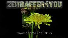 Gewöhnliche Löwenzahn Taraxacum dandelion Blooming Timelapse Zeitraffer