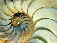 "Close-up of Nautilus Shell Spirals Photographic Print by Ellen Kamp at Art.com $71.99 48""x36"""