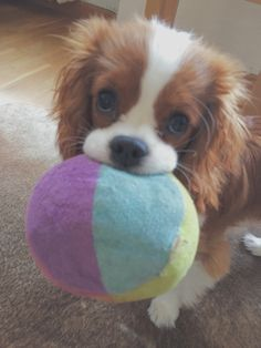 Most beautiful Cavalier King Charles Spaniel www.instagram.com/lissicarlin Puppy blenheim