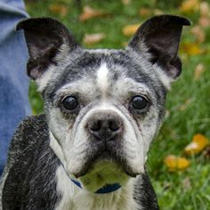 Sarge is an adoptable Boston Terrier Dog in Versailles, KY. - Woodford Humane Society. We're just gonna come out and say it: Sarge is hilarious. This senior Boston terrier really lives up to his name - he's a little bit stubbo...