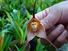 "'Here is Dracula simia from the cloud forests of Ecuador, often called the ""monkey orchid"" for obvious reasons. Also commonly confused with the Orchis Simia, another ""monkey orchid"" Unusual Flowers, Amazing Flowers, Beautiful Flowers, Beautiful Gifts, Rare Flowers, Rare Orchids, Orchid Flowers, Strange Flowers, Beautiful Scenery"
