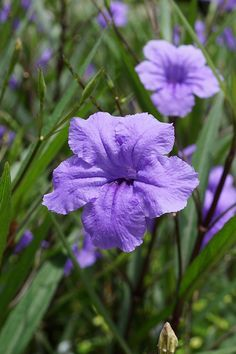 Mexican Petunia Spreads Like Crazy So Be Careful To Contain It Grows 3 Landscaping Shrubsflorida