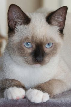 """Pretty kitty  (=^.^=) Thanks, Pinterest Pinners, for stopping by, viewing, re-pinning, & following my boards.  Have a beautiful day! ^..^ and """"Feel free to share on Pinterest ^..^   #catsandme #cats"""