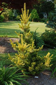 Pinus parviflora 'Goldilocks' #conifer