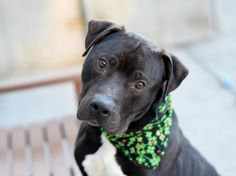 MIDNIGHT - A1104731 - - Brooklyn TO BE DESTROYED 03/08/17 - Click for info & Current Status: http://nycdogs.urgentpodr.org/midnight-a1104731/