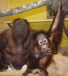 See Kecil orangutan with his surrogate mom, Maggie, in Tropic World: Asia at Brookfield Zoo. Read more at www.czs.org/Kecil List Of Animals, Animals Of The World, Wild Animals, Baby Animals, Cute Animals, Brookfield Zoo, Baby Orangutan, Ape Monkey, Mountain Gorilla