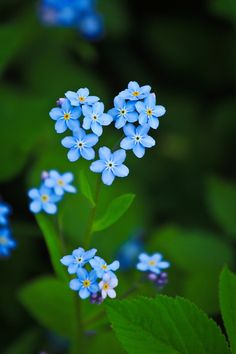 The Alaska state flower. Blue forget-me-nots instead of baby's breath for my wedding flowers