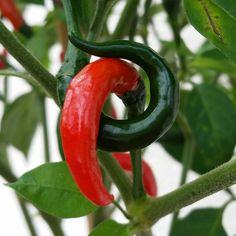 Chili lovestory