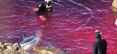 Chaque année, environ 20 000 dauphins sont massacrés  dans la petite baie de Taiji au Japon. Depuis que cette tradition séculaire a été révélée en 2003 par Sea Shepherd, elle suscite une hostilité grandissante. Et pourtant, l'horreur continue...   Petit port de l'ouest du Japon, Taiji a été rendu célèbre par le documentaire « The Cove, la baie de la honte ». Ce film, récompensé par un Oscar en 2010, a rendu public le massacre inacceptable de centaines de dauphins, pour le business du loisir.