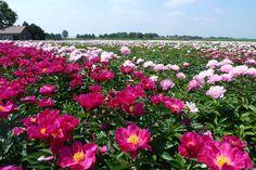 Op naar een volgend bloeiend pioenenseizoen! (http://www.green-works.nl/nl/snijbloem/paeonia/)