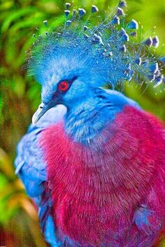 #Victoria Crowned Pigeon Amazing #Bird #Photography examples To Get You Inspired Birds are exceptional beauty that the nature can boast about. Capturing one in your house definitely is not a good thing to do, but capturing one in your frame is definitely worth it