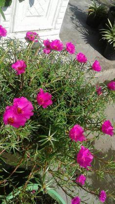 Portulaca Grandiflora, Ice Plant, My Flower, Pink Flowers, Rose, Beautiful, Ideas, Container Gardening, Plants