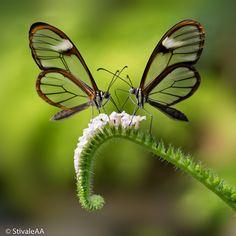 Glass winged butterflies
