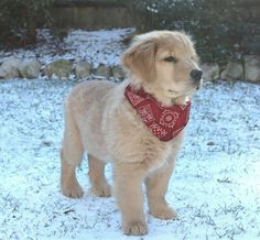 Clyde 3 months. golden retriever puppy