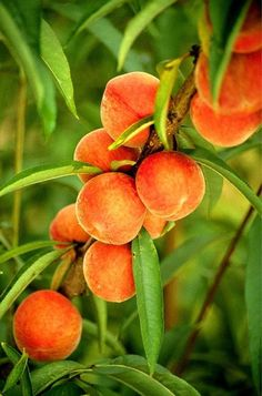 Red Haven peach, that wonderfully flavorful clingfree peach. The standard is set by Red Haven