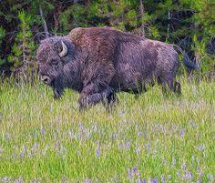 Wood Print of Wildlife Art, Buffalo, Wildflowers. Native American Art, American Bison, Canvas Wall Art, Canvas Prints, Art Prints, Rustic Art, Landscape Walls, Wildlife Art, My Animal